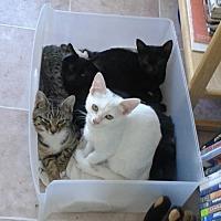 Domestic Shorthair Cat for adoption in Walnut Creek, California - Layla