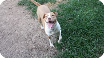 Pit Bull Terrier Mix Dog for adoption in Lafayette, Indiana - Clyde