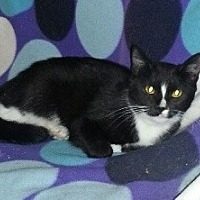 Domestic Shorthair Kitten for adoption in Columbus, Ohio - Katlyn