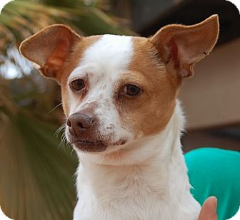 Jack Russell Terrier Mix Dog for adoption in Las Vegas, Nevada - Maxwell