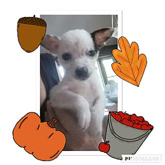 Terrier (Unknown Type, Small)/Chihuahua Mix Puppy for adoption in Media, Pennsylvania - KING ARTHUR
