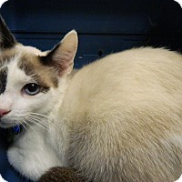 Adopt A Pet :: Ziggy Stardust - The Colony, TX