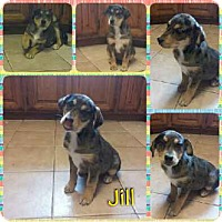 Adopt A Pet :: Jill in CT - Manchester, CT