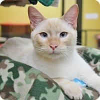 Adopt A Pet :: Snowy - Benbrook, TX