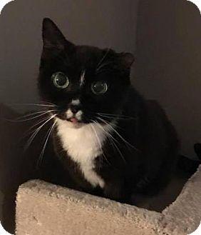Domestic Shorthair Cat for adoption in Hamilton, Ontario - Curcat