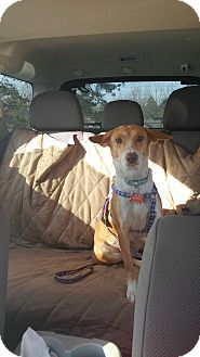 Whippet Mix Dog for adoption in Media, Pennsylvania - Bailey