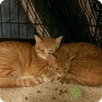 Adopt A Pet :: McGriff and McKenry (polydactyl) - O'Fallon, MO