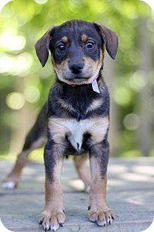 Dachshund Mix Puppy for adoption in Waldorf, Maryland - Daisy