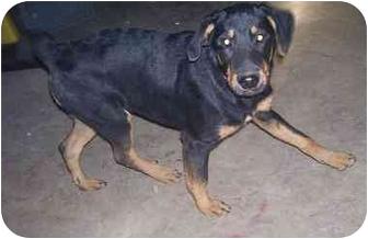 Rottweiler Puppy for adoption in Chandler, Indiana - Kaz