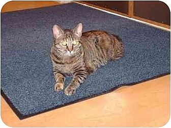 Domestic Shorthair Cat for adoption in Fremont, Michigan - Mia