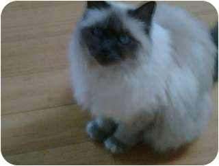 Burmese Cat for adoption in Los Angeles, California - Shakti