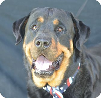 Rottweiler Dog for adoption in Plano, Texas - Smith