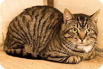 Domestic Shorthair Cat for adoption in Fairhope, Alabama - Napolean