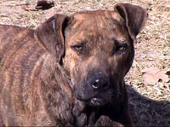Boxer Mix Dog for adoption in Tyler, Texas - AA-Giselle