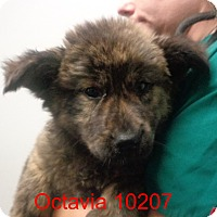 Adopt A Pet :: octavia - baltimore, MD