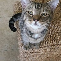 Domestic Mediumhair Cat for adoption in St. Cloud, Florida - Houston