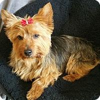 Adopt A Pet :: Misha-Adoption pending - Bridgeton, MO