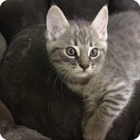 Adopt A Pet :: Sassy - Medina, OH