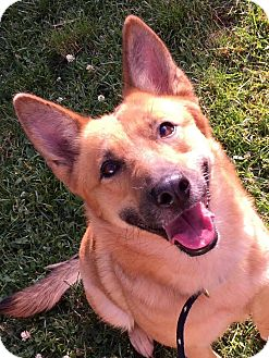 German Shepherd Dog Mix Dog for adoption in Cleveland, Ohio - Little Red Riding Hood