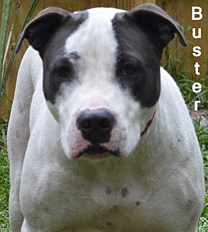 American Bulldog/American Staffordshire Terrier Mix Dog for adoption in Lake Pansoffkee, Florida - Buster