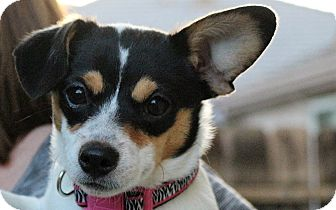 Jack Russell Terrier/Chihuahua Mix Puppy for adoption in Tracy, California - Penny-ADOPTED!