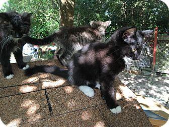 Domestic Shorthair Kitten for adoption in Panama City, Florida - Bobbie