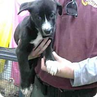 Shepherd (Unknown Type) Mix Puppy for adoption in San Bernardino, California - URGENT 3/19 @ DEVORE