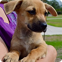 Adopt A Pet :: Gracie - Allen town, PA