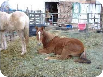 Quarterhorse for adoption in Durango, Colorado - LuLu