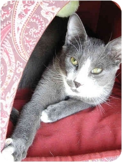 Domestic Shorthair Cat for adoption in Little Falls, New Jersey - Aragorn (MG)