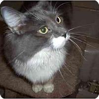 Domestic Shorthair Cat for adoption in Hesperia, California - Jennifer