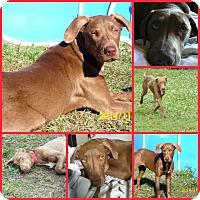 Adopt A Pet :: CALLIE - Inverness, FL