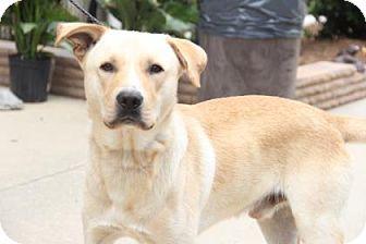 Labrador Retriever Mix Dog for adoption in Greensboro, North Carolina - Brody