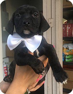 Labrador Retriever Mix Puppy for adoption in Montclair, California - Buster