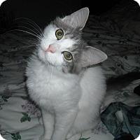 Adopt A Pet :: Polo (& Angus)-Lap/dog lover - Arlington, VA
