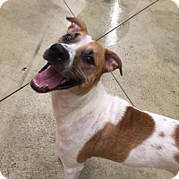 Jack Russell Terrier/Mixed Breed (Medium) Mix Dog for adoption in SHELBY TWP, Michigan - Bella