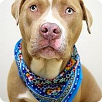 Adopt A Pet :: Bullet - Dublin, CA
