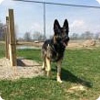 German Shepherd Dog Dog for adoption in Mechanicsburg, Ohio - Willie