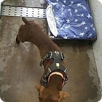 Adopt A Pet :: Drake - Chippewa Falls, WI