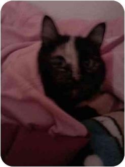Domestic Shorthair Cat for adoption in Loveland, Colorado - Jade Noel