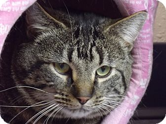 Domestic Shorthair Cat for adoption in Colorado Springs, Colorado - Jimmy