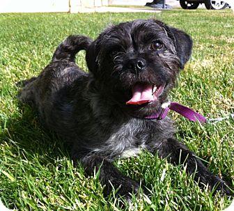 Brussels Griffon/Pug Mix Puppy for adoption in El Cajon, California - johnny (HW)