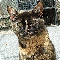 Calico Cat for adoption in Carmel, New York - Sophie