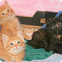 Adopt A Pet :: Puffy Kittens - Arlington, VA