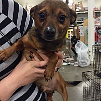 Terrier (Unknown Type, Medium) Mix Dog for adoption in Fresno, California - Dexter