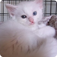 Adopt A Pet :: BRODEN - Acme, PA