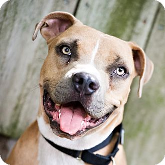 Pit Bull Terrier/American Staffordshire Terrier Mix Dog for adoption in Houston, Texas - Charlie Brown