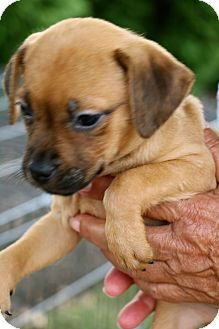 Retriever (Unknown Type)/Anatolian Shepherd Mix Puppy for adoption in Mount Holly, New Jersey - Mikey