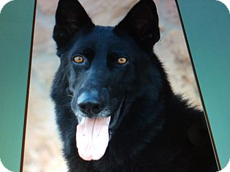 German Shepherd Dog Dog for adoption in Los Angeles, California - SHAYNE VON SYKE