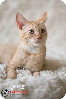 Domestic Shorthair Kitten for adoption in Columbus, Ohio - Jay Z
